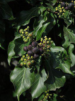 Ivy, Climbing Smoke, Fruits, Berries