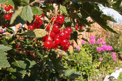 Currant, Berry, Summer, Dacha, Red