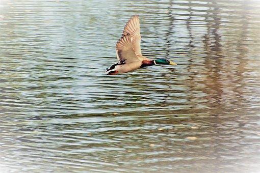 Bird, Duck, Low Altitude Flight