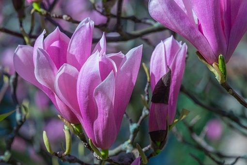 Magnolia, Flower, Blossom, Bloom
