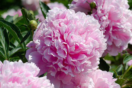 Peony, Blossom, Bloom, Filled, Paeonia