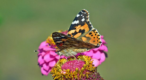 Butterfly, Insect, Nature, Macro, Wings