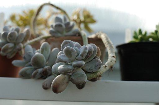Succulent, Houseplants, Cactus, Plant