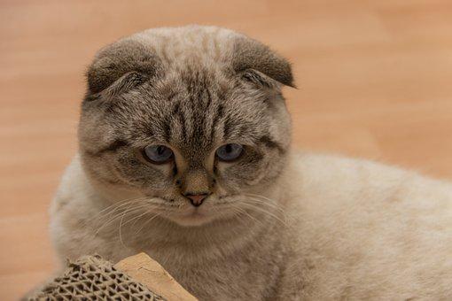 Cat, Britsch Short Hair, Eyes, Blue, Breed Cat, View