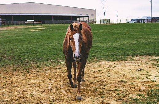 Horse, Mare, Ranch, Chestnut, Rural