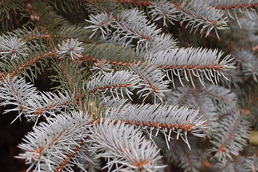 Spruce, Needles, Macro, Tree, Conifer, Forest, Green
