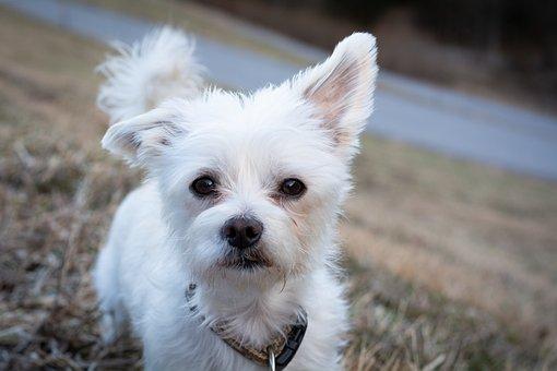 Dog, White, Small, Small Dog, Sweet, Animal, Pet