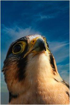 Bird, Plumage, Falcon, View, Feather