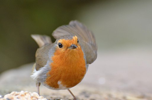Robin, Birdsong, Songbird, Red, Nature, Feather