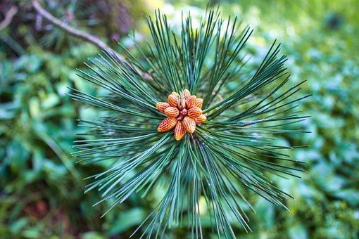 Fir Tree, Blossom, Bloom, Nature, Garden