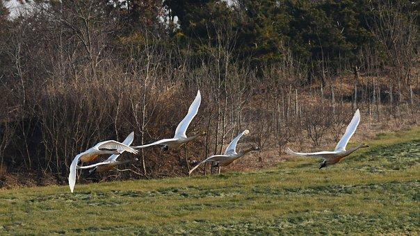 Cygnus, Nature, Flight, In The New Year