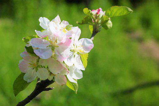 Flowers, Spring, Apple, Nature, Plant, Color, Beautiful