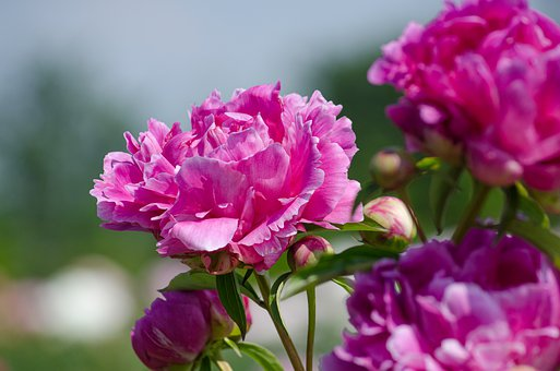 Peony, Flowers, Pink, Filled, Fragrance