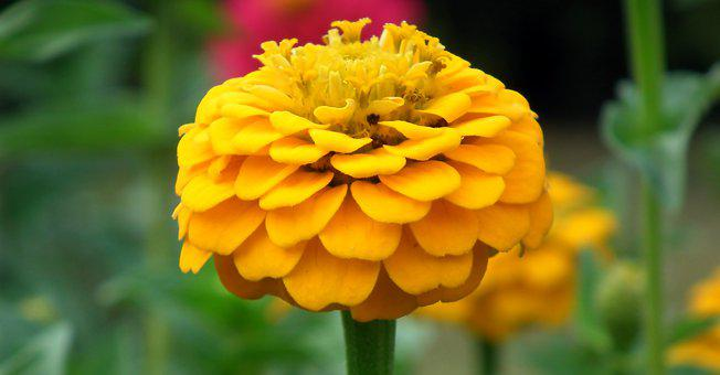 Zinnia, Flowers, Yellow, Summer, Plant