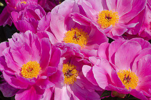 Peony, Flowers, Pink, Yellow, Stamens, Fragrance