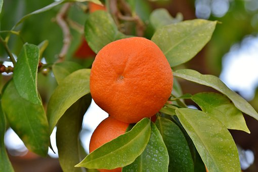 Orange, Orange Tree, Citrus Fruit, Fruit