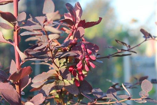 Barberry, Berry, Garden, Autumn, Red, Nature, Bush
