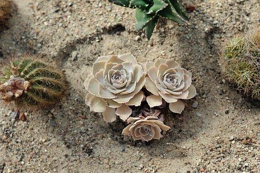 Cactus, Plant, Cacti, Green, Botanical