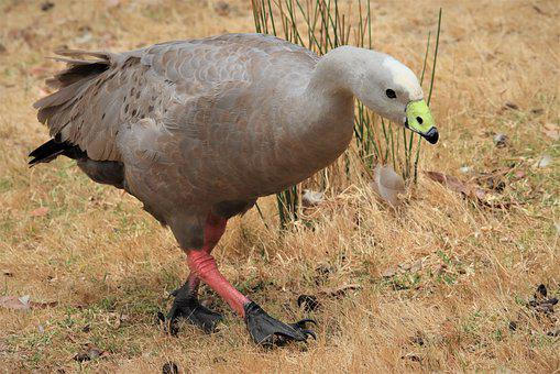 Cape Barren Goose, Waterfowl, Pig Goose, Green