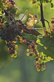 Grapes, Young, Vineyard, Grapevine, Green, Plant