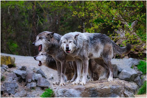 Wolves, Pack, Wolf, Timber Wolves, Grey, Fur, View