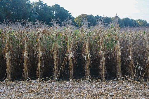 Corn, Field, Agriculture, Harvest, Nature, Landscape