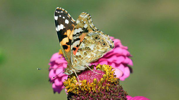 Butterfly, Insect, Flower, Zinnia