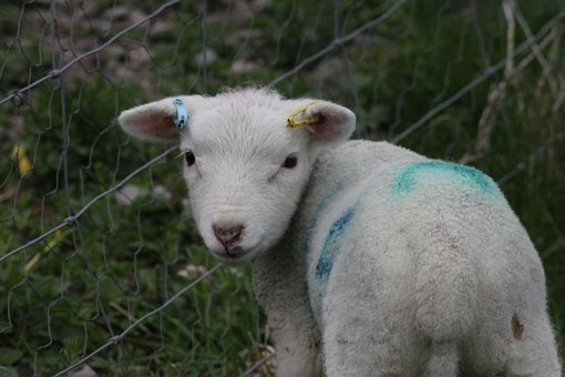 Lamb, Easter, Spring, Sweet, Animals, Mammal