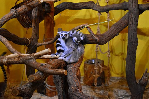 Lemur Kata, Madagascar, Mammal, Lemur, Primates