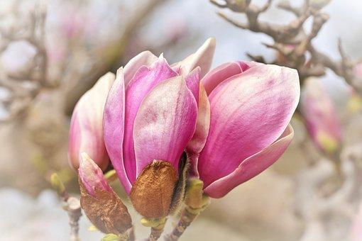 Magnolia, Magnolia Tree