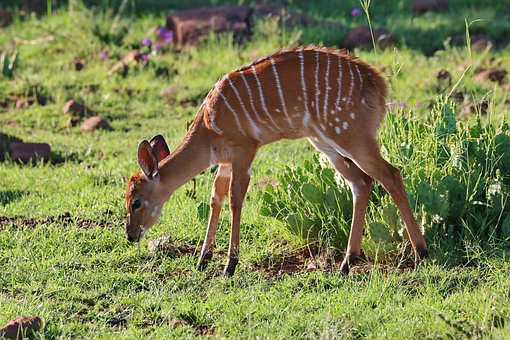 Nyala, Antelope, Animal, Mammal, Nature