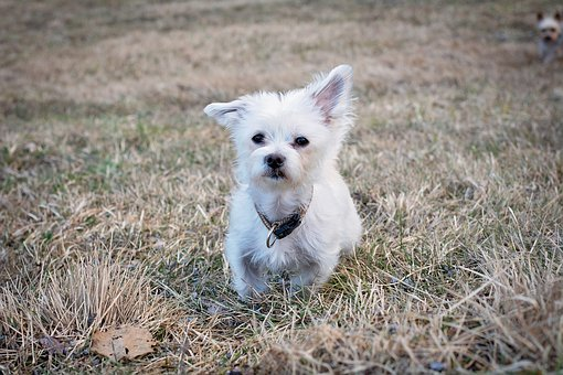 Dog, White, Pet, Out, Meadow, Nature, Maltese, Hybrid