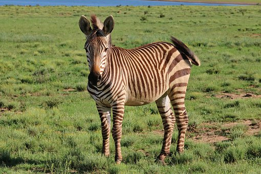Hartmann's, Zebra, Mountain Zebra, Animal World, Africa