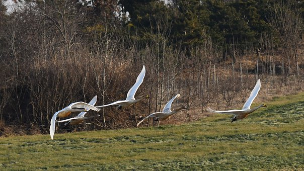 Cygnus, Nature, Flight, In The New Year, Hope, Wing
