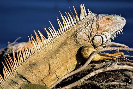 Iguana, Lizard, Dragon, Dinosaur, Old, Sunning, Reptile