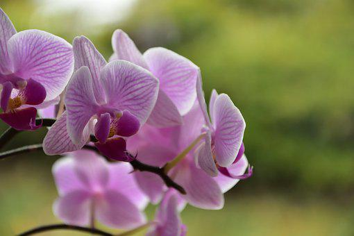 Orchid, Flower, Pink, Flowers, Flora