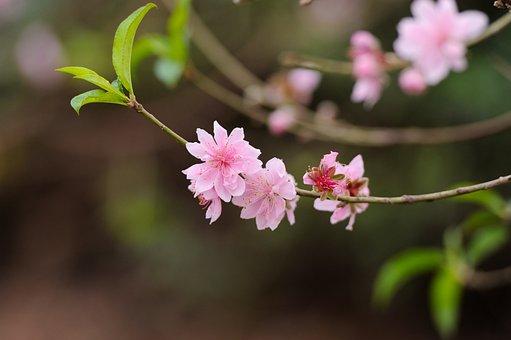 Peach Flower, Pink, Garden, Peach, Spring, Nature