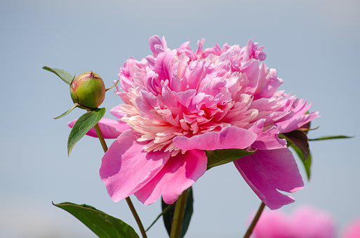 Peony, Blossom, Bloom, Pink, Filled, Fragrance, Wind