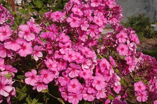 Phlox, Flowers, Pink, Garden, Flower, Flora, Summer