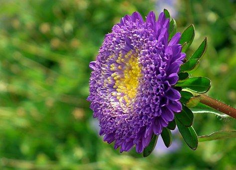 Aster, Flower, Plant, Garden, Macro
