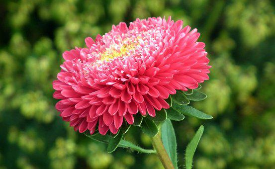 Aster, Flower, Red, Blooming, Plant
