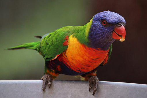 Beautiful, Rainbow, Lorikeet, Eating