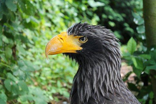 Adler, White Tailed Eagle, Bird Of Prey, Raptor, Bill