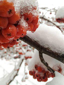 Mountain Ash, Winter, Berry, Red