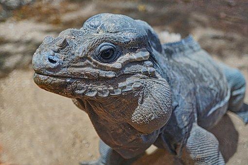 Rhinoceros Iguana, Iguana, Reptile, View