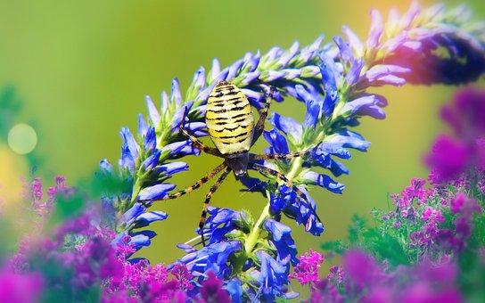 Tygrzyk Paskowany, Female, Arachnid, Scary, Hairy
