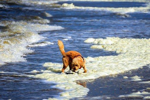 Sea, Foam Algae, North Sea, Coast, Beach, Dog, Wave