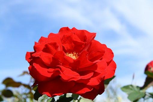 Rose, Red, Sky, Petals, Color