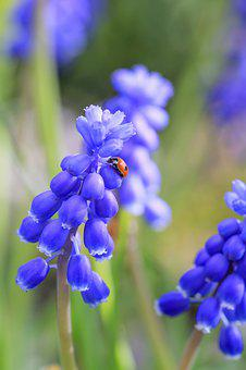 Muscari, Spring, Summer, Bloom, Hyacinth, Garden, Blue