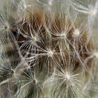 Dandelion, Plant, Nature, Flower, Seeds, Summer, Spring